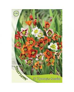 Bulbi Sparaxis tricolor