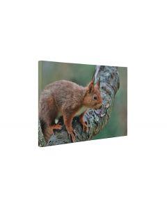 Veverita pe copac - Tablou Canvas - 4Decor